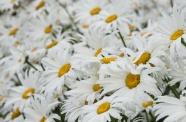 白色雛菊花朵近景圖片