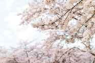 春天櫻花樹圖片