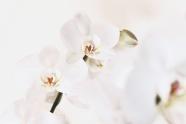 唯美白色蝴蝶蘭圖片